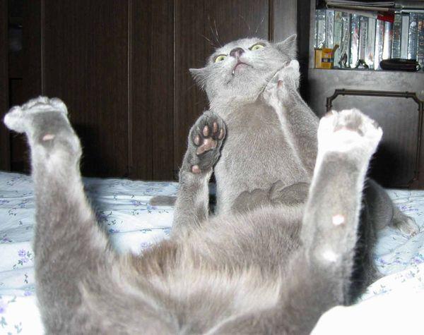 фото русской голубой кошки - фотография 4.